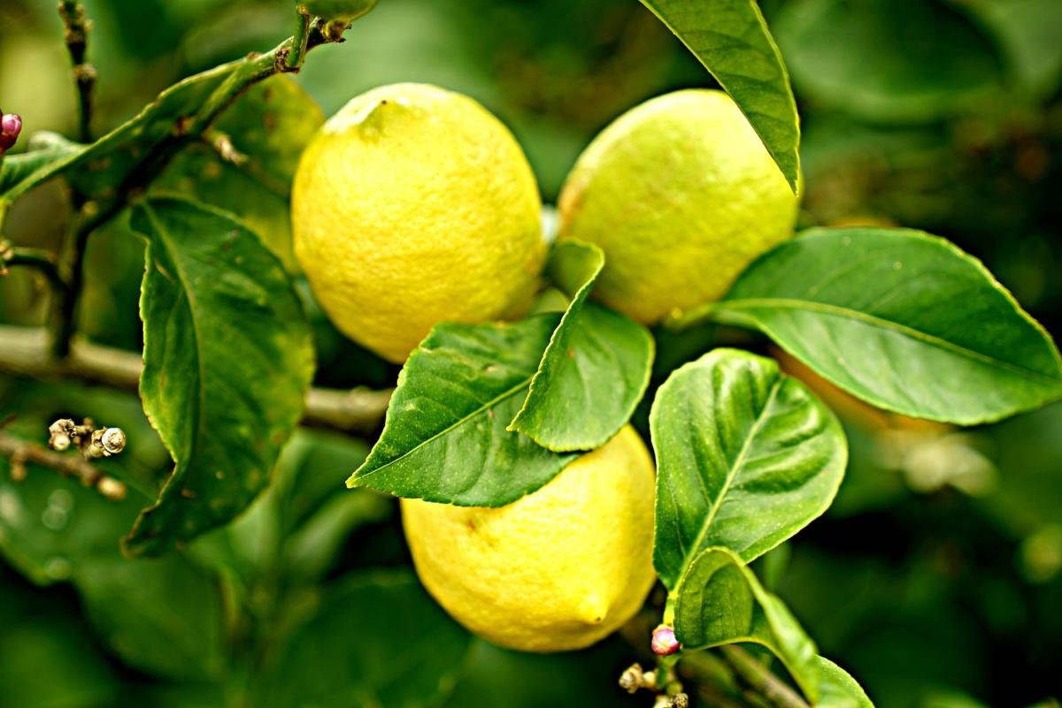 怖い レモン 意味 果物の『lemon(レモン)』には英語のスラングで違う意味がある?