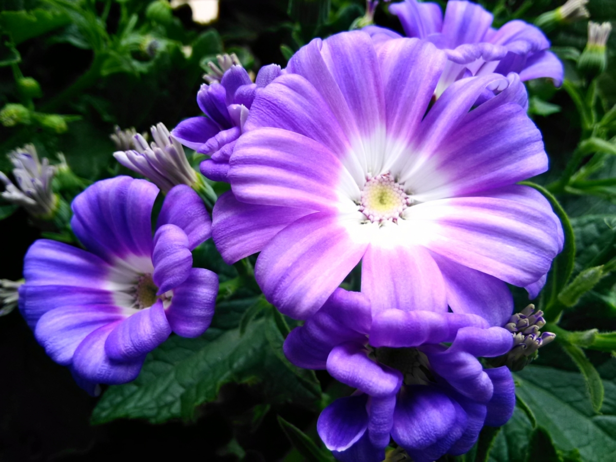 シネラリア青紫