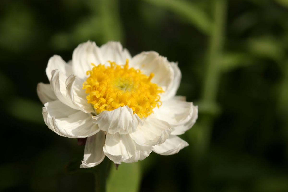 ハナカンザシ花