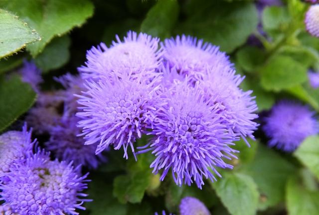 アゲラタム花
